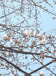 2016/3/20 桜